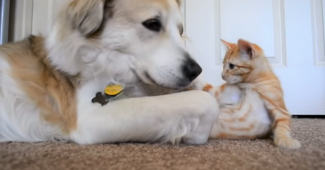 video rescue dog Murkin caring for kitten