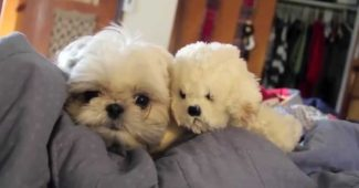 video Shih Tzu Abba playing with toy dog