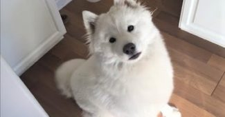 Video Samoyed cuddling with family