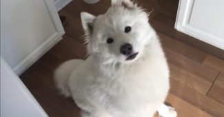 video of Arora the Samoyed being cuddly