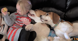 video beagles loving little girl