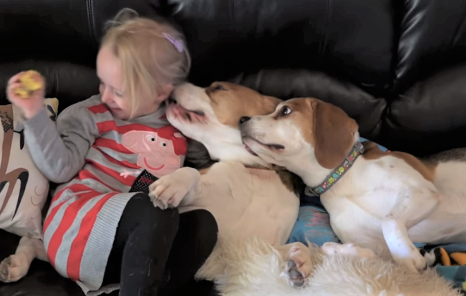 video beagles loving little girl