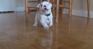 video of Bentley the Bulldog playing by himself