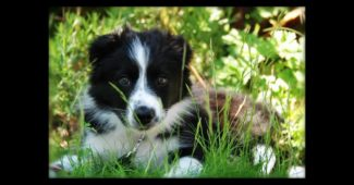 video of Border Collie Ruby's first year