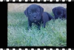 video of Cane Corso puppies playing