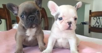 video of French Bulldog puppies
