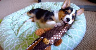 video Corgi puppy enjoying his many toys