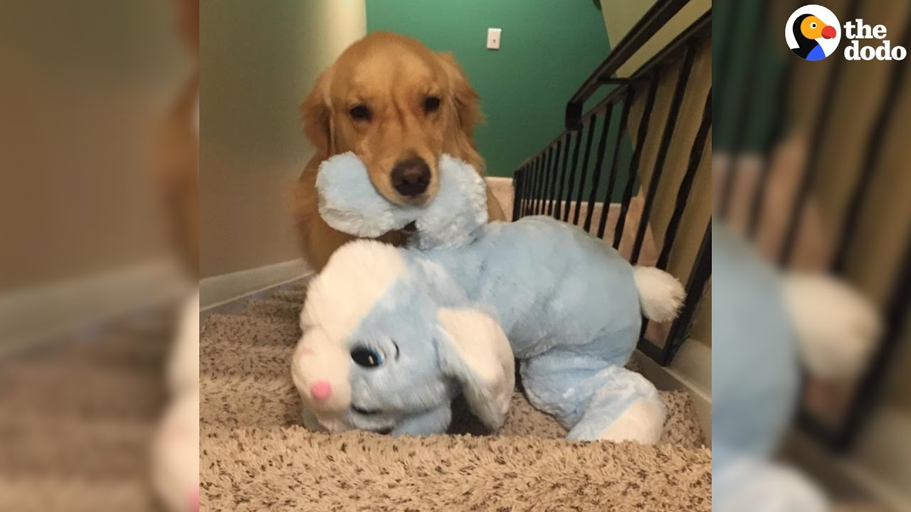 video Golden Retriever carries toys to bed