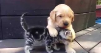 video puppy adores kitten