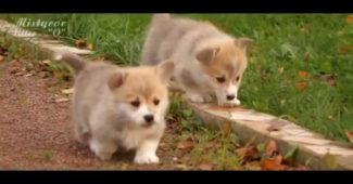video happy Corgi puppies