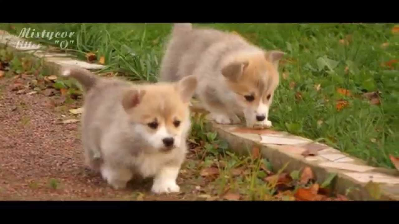 video happy Corgi puppies