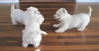 video happy Westies playing