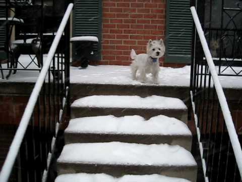 video of a Westie wanting owner to clear the snow
