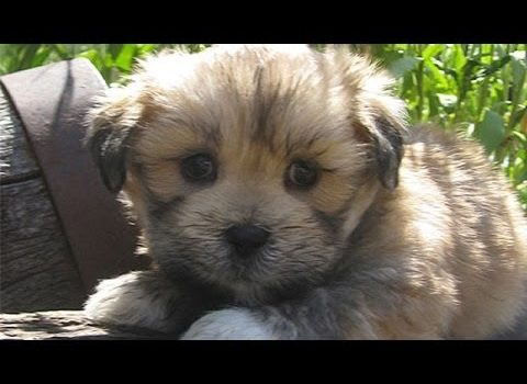 video Lhasa Apso puppies