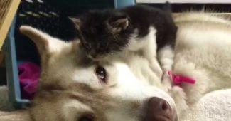 video Lilo the Husky nursing kitten Rosie to health