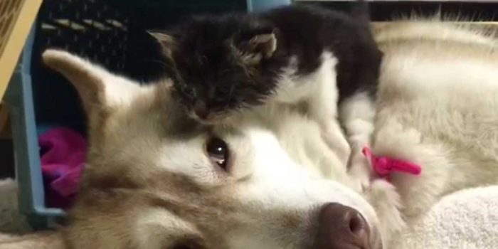 video Lilo the Husky nursing kitten Rosie to health