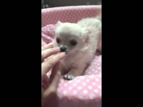 video long hair chihuahua puppy playing with mom