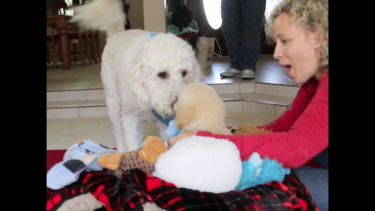 video of loving family welcoming Goldendoodle puppy home