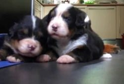 video of mountain bernese mama caring for her puppies