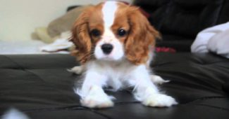 video of an energetic Cavalier King Charles Spaniel puppy