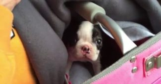 video of a 9 weeks old Boston Terrier