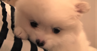 video pomeranian puppy in new home
