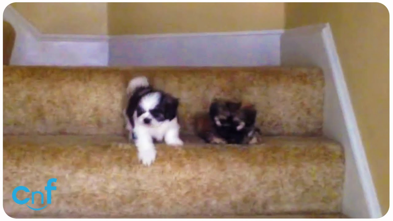 Video Shih Tzu Puppies Learning To Use Stairs Doggie Outpost
