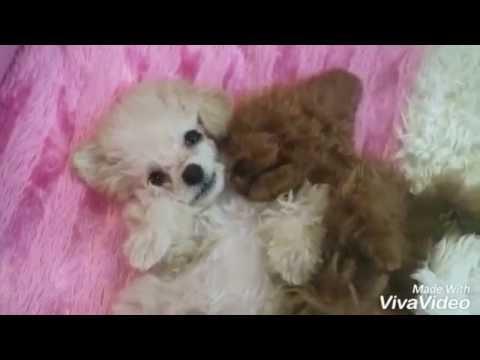 video of Shu the teddy bear dog