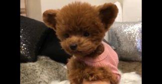 video teddy bear puppy Shu
