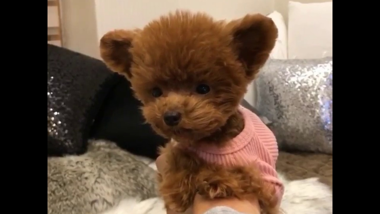 video teddy bear puppy Shu