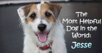 video a helpful jack russell terrier