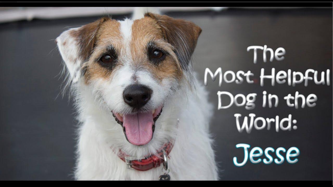 video a helpful jack russell terrier