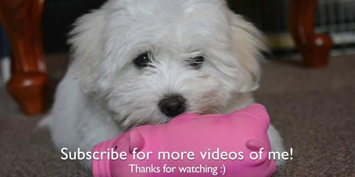 video of Coton de tulear puppy enjoying life