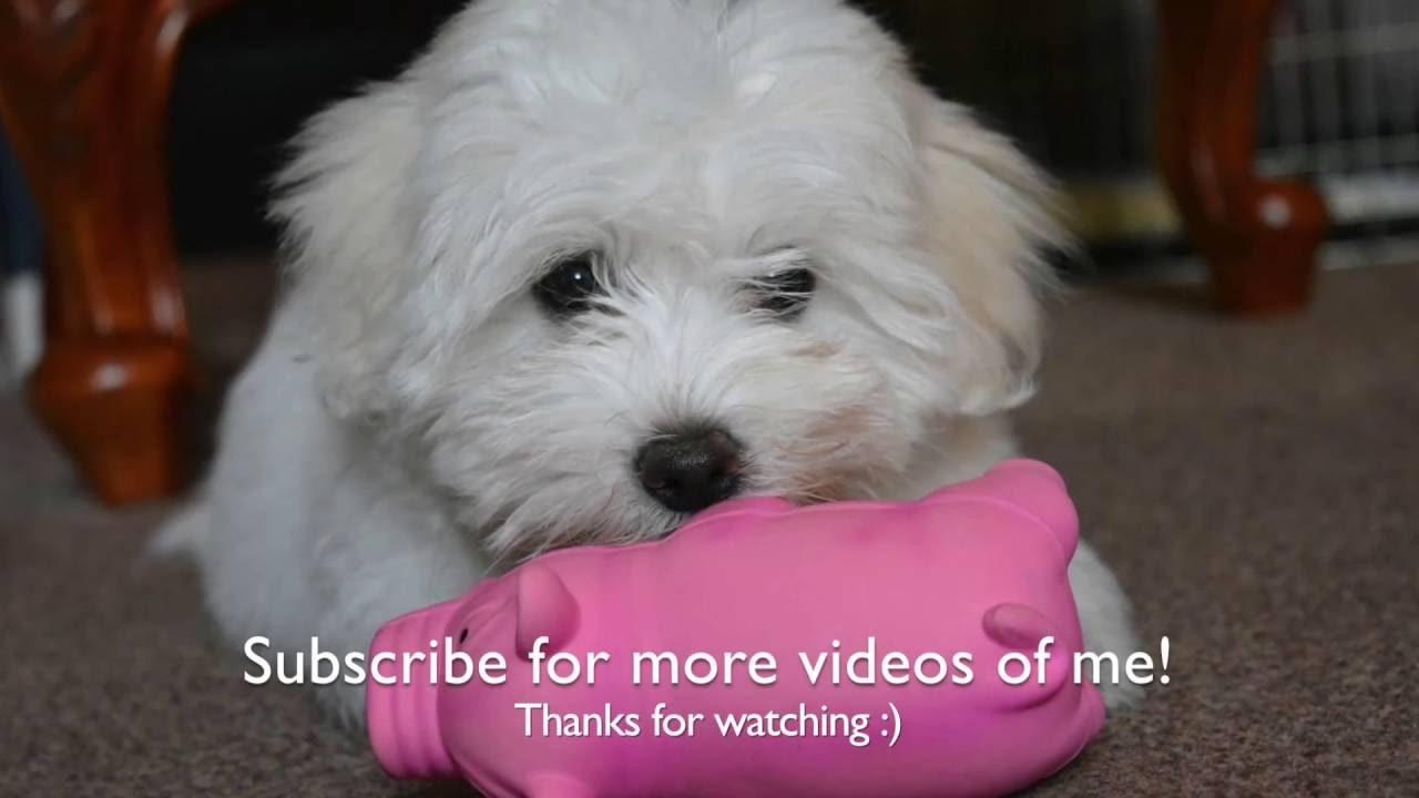 video of Coton de tulear puppy enjoying life