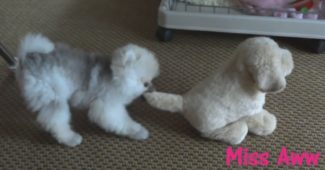 video of Pomeranian puppy playing with stuffed toy