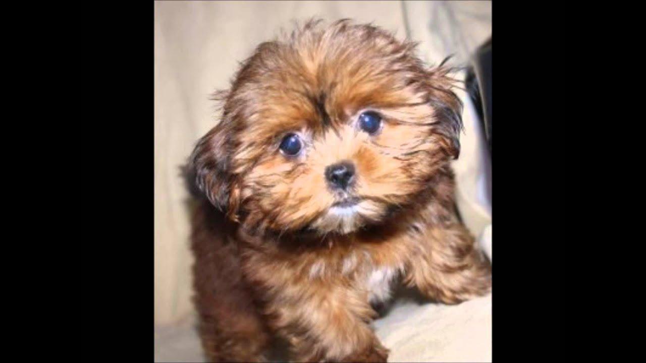 video Shorkie puppy