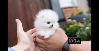 video tiny Pomeranian puppy running fast