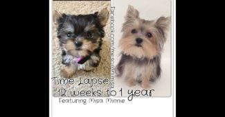 video Yorkie Misa Minnie growing first year