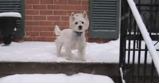 video Westie wants man to shovel snow