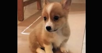 video Corgi puppy coming home