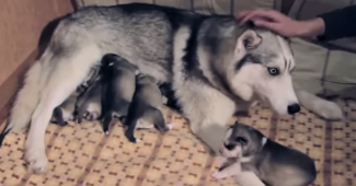 video Husky mama caring for her newborn puppies