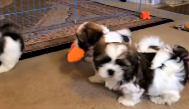 video Maltese Shih Tzu puppies playing