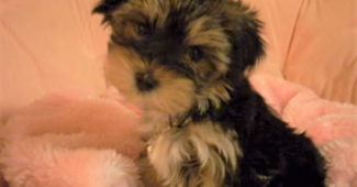 video Morkie puppy 8 weeks old