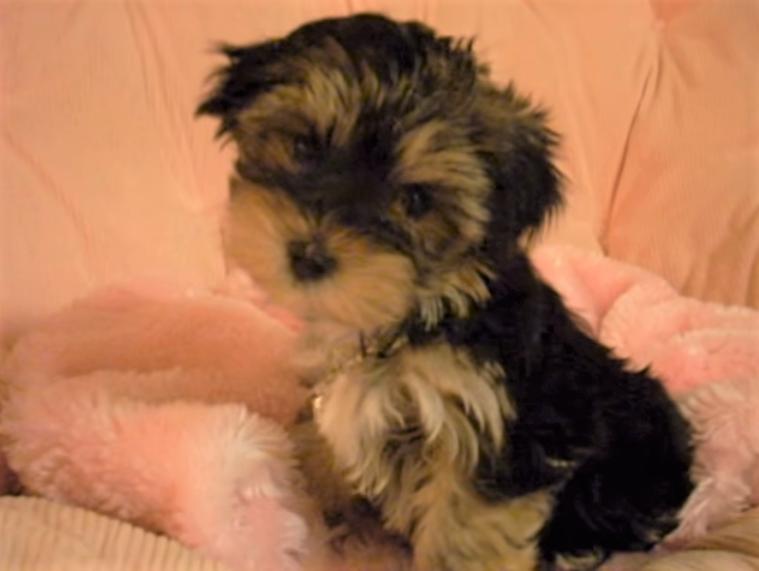 video Morkie puppy 8 weeks old