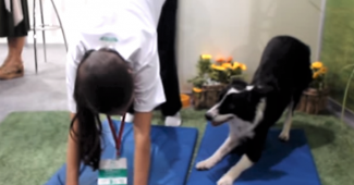 video border collie doing yoga