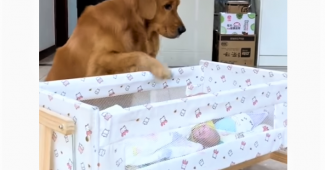 video Golden Retriever babysitting