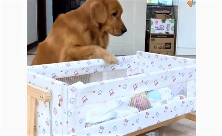 video Golden Retriever babysitting