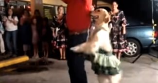 video golden retriever who loves to dance
