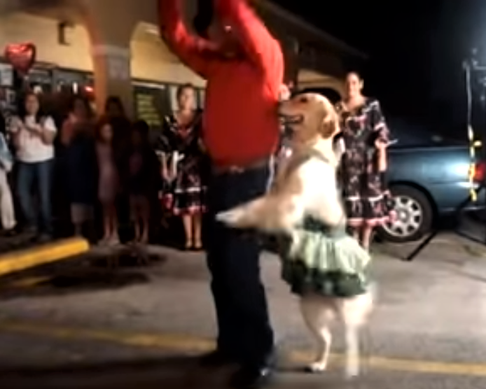 video golden retriever who loves to dance