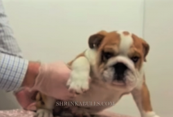 video how to pick up a bulldog correctly